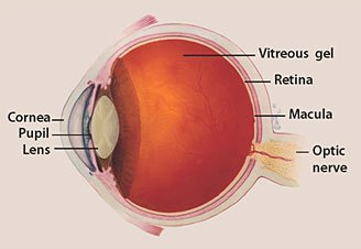 optic nerve diagram